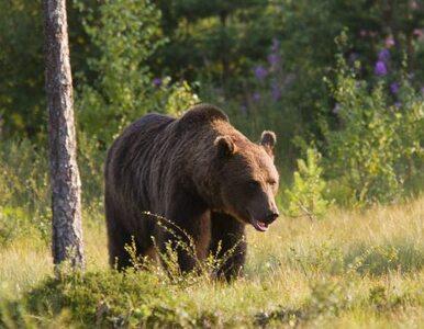 Mężczyzna zaatakowany przez niedźwiedzia w Bieszczadach