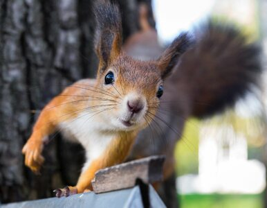 Co warto wiedzieć o wiewiórkach? Lekcji udziela minister