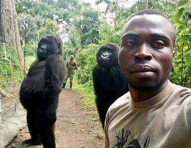 """Mężczyzna zrobił sobie selfie z dwoma gorylami. """"Dzień jak co dzień"""""""