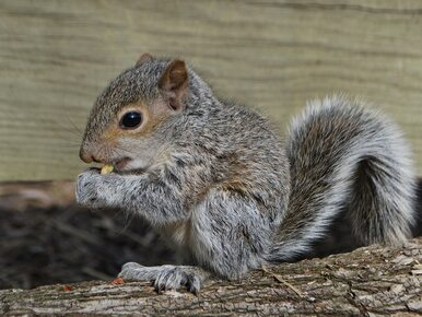 Niemiec wezwał policję, bo atakowała go... wiewiórka. Finał zaskoczył...
