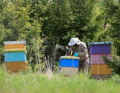 Pomorze. Opryskał pole rzepaku, zginęły tysiące pszczół
