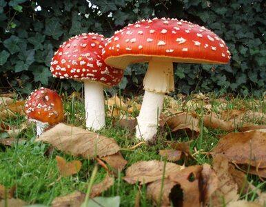 Halucynogenne grzyby w królewskich ogrodach. Anglicy w szoku, a chodziło...
