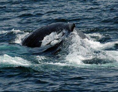 Wieloryby stresują się... statkami
