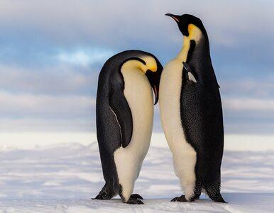 Liczebność największej kolonii pingwinów spadła o 90 proc. Badacze...