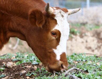 Zjedli krowę ukąszoną przez węża. Dziesiątki osób w szpitalu
