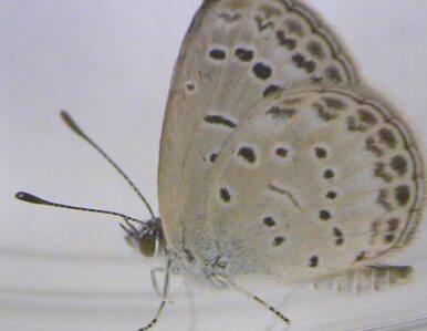 Japońskie motyle zmutowały. Winna Fukushima