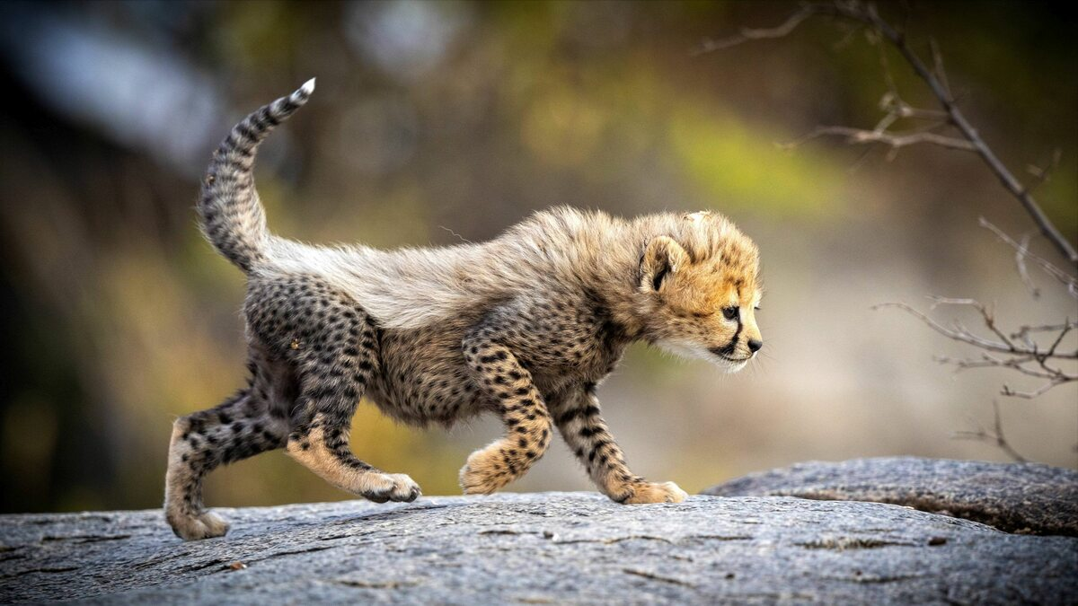 Mały gepard