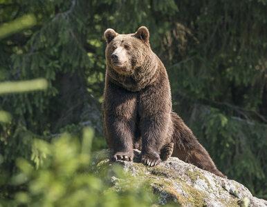 """""""Widziałem przynajmniej 38 niedźwiedzi"""". Szalona noc myśliwego w..."""