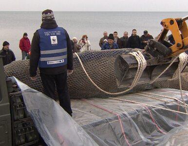 Mielno wykorzysta martwego wieloryba do promocji?