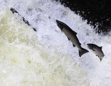 Z hodowli uciekło ponad 600 tys. łososi. Podawano im groźne antybiotyki