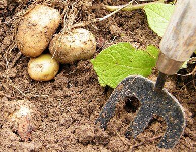 Białoruscy naukowcy wynaleźli... ziemniaki