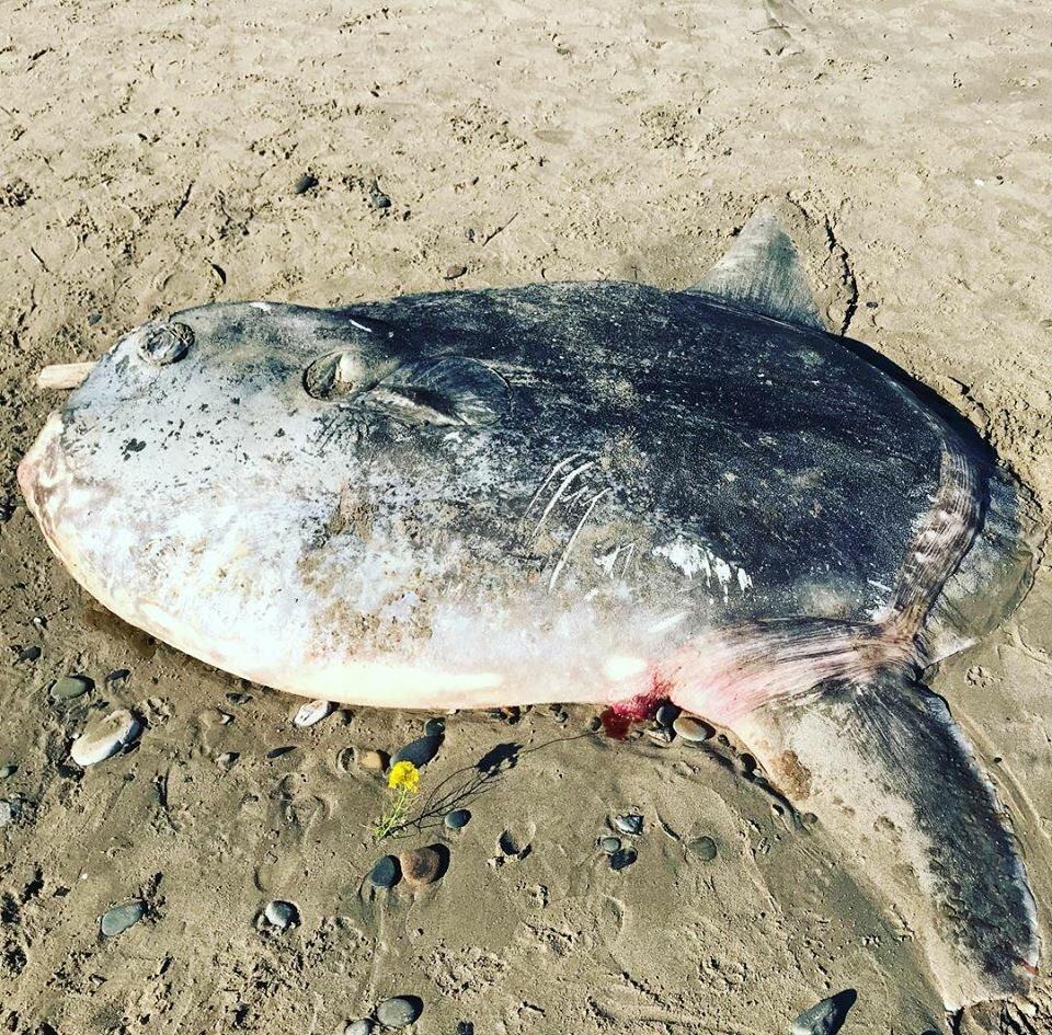 Inny osobnik samogłowa, wyrzucony na plażę w Kalifornii